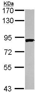 Western blot - PNPT1 antibody (ab96176)