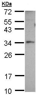 Western blot - PEX26 antibody (ab96180)