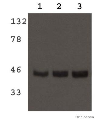Western blot - MDH2 antibody (ab96193)