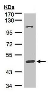 Western blot - SCARA3 antibody (ab96205)