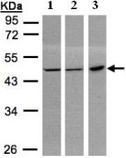 Western blot - PGD antibody (ab96225)