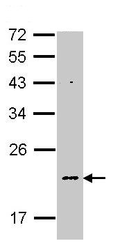 Western blot - NDUFB5 antibody (ab96228)