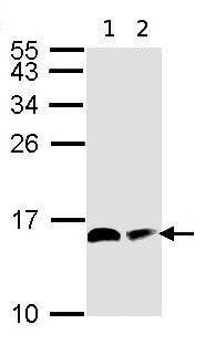 Western blot - NDUFAB1 antibody (ab96230)