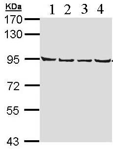 Western blot - LETM1 antibody (ab96237)