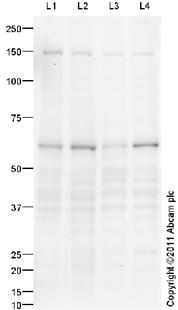 Western blot - Src antibody (ab96263)