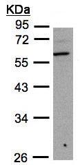 Western blot - B3GNT3 antibody (ab96267)