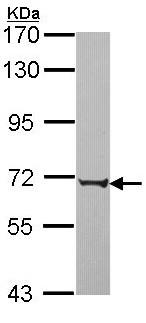 Western blot - PABPC3 antibody (ab96275)