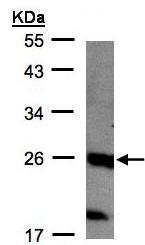 Western blot - C1orf57 antibody (ab96287)