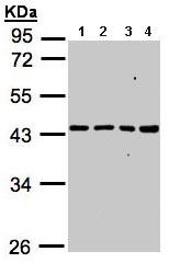 Western blot - MRPS5 antibody (ab96291)