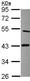 Western blot - LIAS antibody (ab96302)