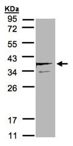 Western blot - SCAMP3 antibody (ab96305)