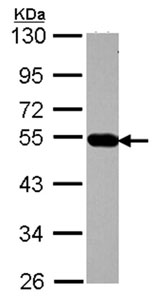Western blot - AP4M1 antibody (ab96306)