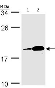 Western blot - Proapoptotic Caspase Adaptor Protein  antibody (ab96308)