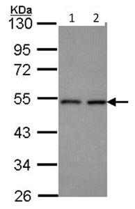 Western blot - HEAB antibody (ab96309)