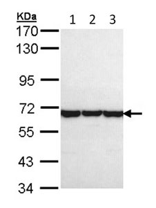 Western blot - TCP1 theta antibody (ab96321)