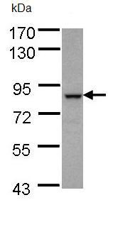 Western blot - BBS7 antibody (ab96332)