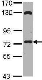 Western blot - EXOC7 antibody (ab96347)