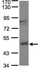 Western blot - BBOX1 antibody (ab96348)