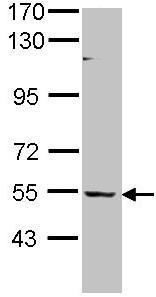 Western blot - BAIAP2L1 antibody (ab96349)