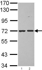 Western blot - POMGNT1 antibody (ab96353)