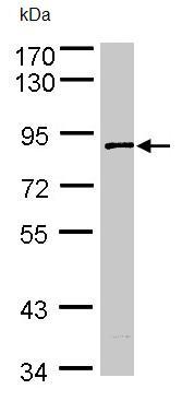 Western blot - SCY1 like 3 antibody (ab96357)