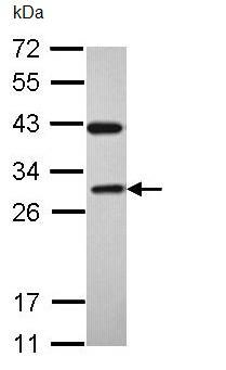 Western blot - Rab3C antibody (ab96360)