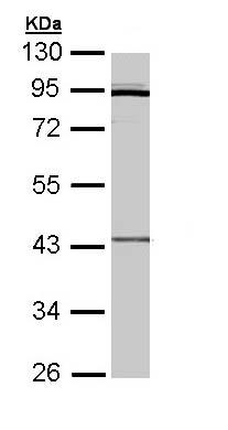 Western blot - CRLF1 antibody (ab96366)