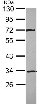 Western blot - Syntaxin 4 antibody (ab96382)
