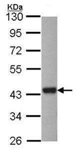 Western blot - ASNA1 antibody (ab96388)