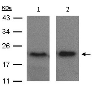 Western blot - ARF5 antibody (ab96389)