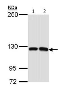 Western blot - ARHGEF14 antibody (ab96395)