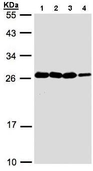 Western blot - HN1 antibody (ab96397)