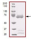 SDS-PAGE - DDR2 protein (Active) (ab96401)