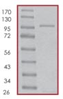 SDS-PAGE - cGKI protein (Active) (ab96403)