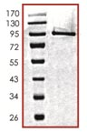 SDS-PAGE - PAK4 protein (Active) (ab96405)