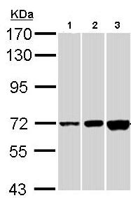 Western blot - CNGA2 antibody (ab96410)