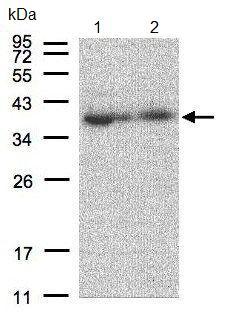 Western blot - MRPL3 antibody (ab96427)