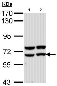 Western blot - Anti-Pancreatic alpha amylase antibody (ab96430)