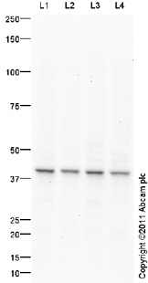 Western blot - ELAVL2 antibody (ab96471)