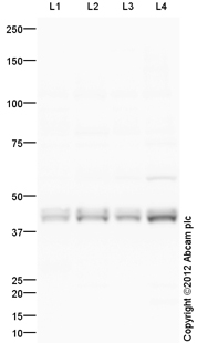 Western blot - Anti-ELAVL4 antibody (ab96474)