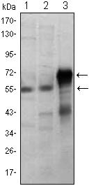 Western blot - ETS1 antibody [8A8] (ab96478)