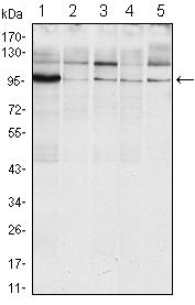 Western blot - IRE1 antibody [9F2] (ab96481)