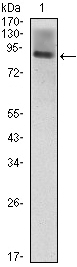 Western blot - ICAM1 antibody [6G12] (ab96485)