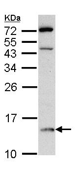 Western blot - DDT antibody (ab96495)