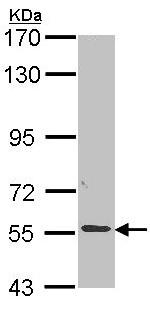 Western blot - ALPPL2 antibody (ab96497)