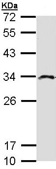 Western blot - IMPA2 antibody (ab96503)