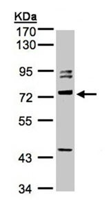 Western blot - Amphiphysin antibody (ab96508)