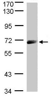 Western blot - IL12RB1 antibody (ab96517)