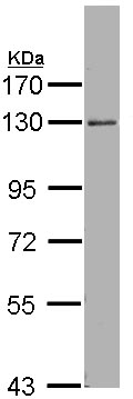Western blot - p114RhoGEF antibody (ab96520)