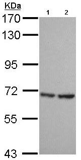 Western blot - SH3BP1 antibody (ab96523)